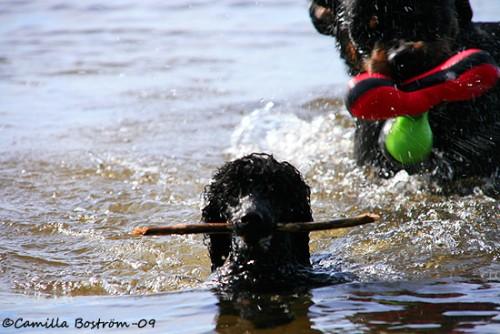 Jag skulle också simma så fort jag kunde om jag hade ett stort blötdjur bakom mig :)