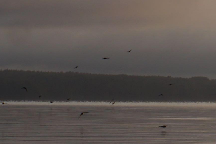 Svalor som mumsar på knott i soluppgången