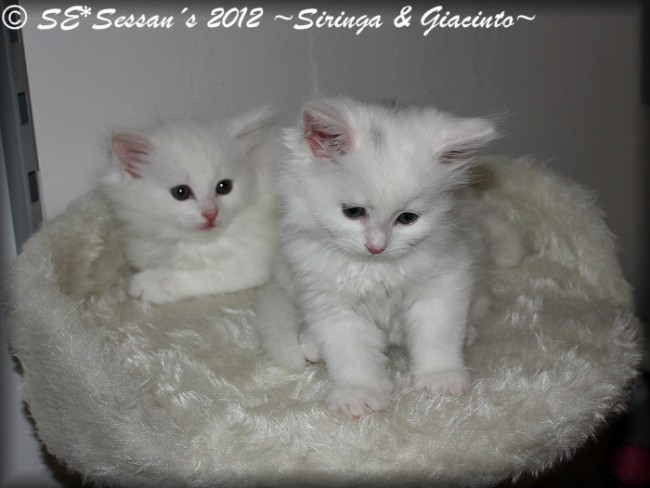 white siberian cat sibirisk katt vit