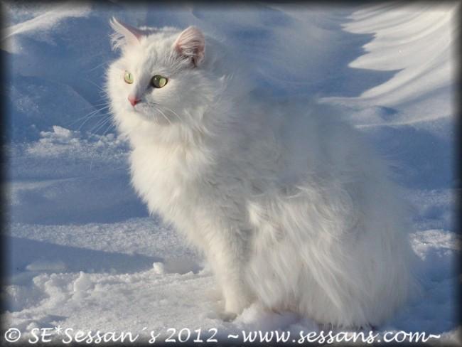 Vit sibirisk katt white siberian cat