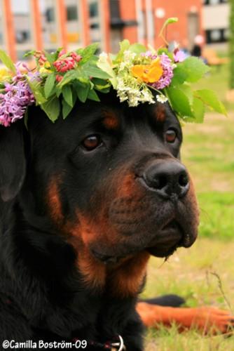 Plågad hund med midsommarkrans