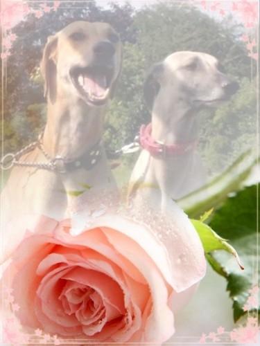 pryda ett vackert rosenkort