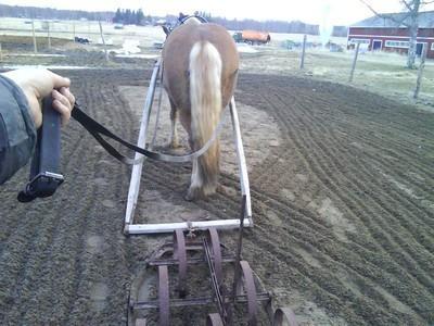 Häst framför en pinnharv.