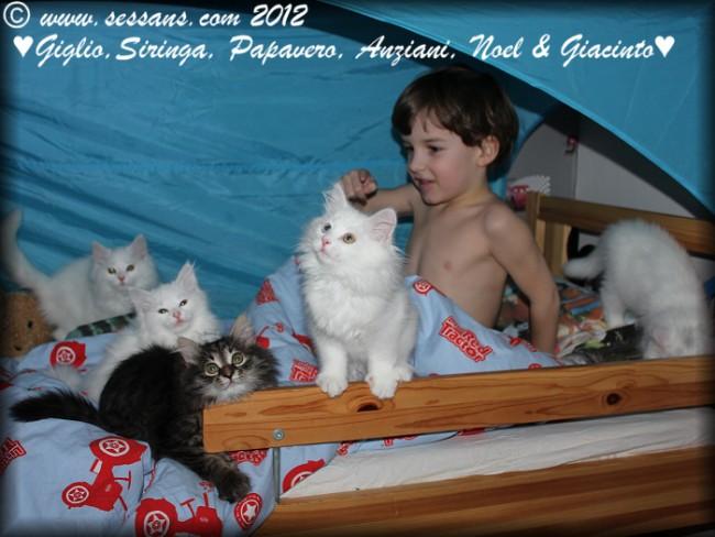 sibieran kittens sibieran cat white siberian cat