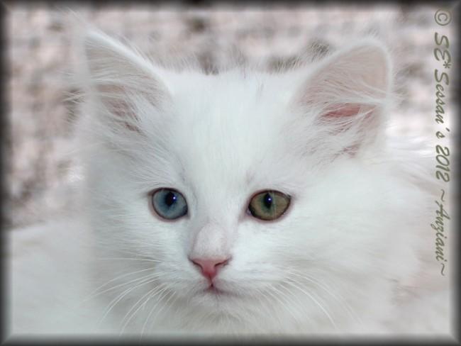 odd eyed white siberian cat odd-eyed vit sibirisk katt