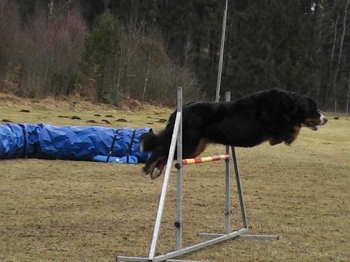 Fransennens Jenna (Bella) tränar agility