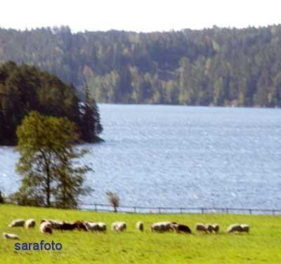 Får vid sjön Råvarpen
