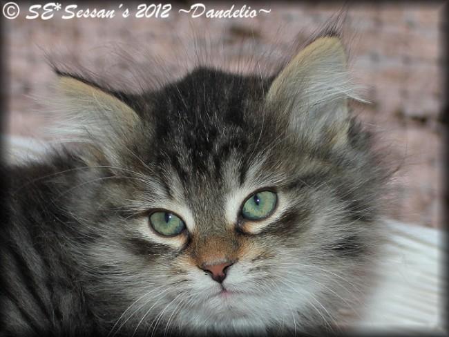 Siberian cat Sibirisk katt n23