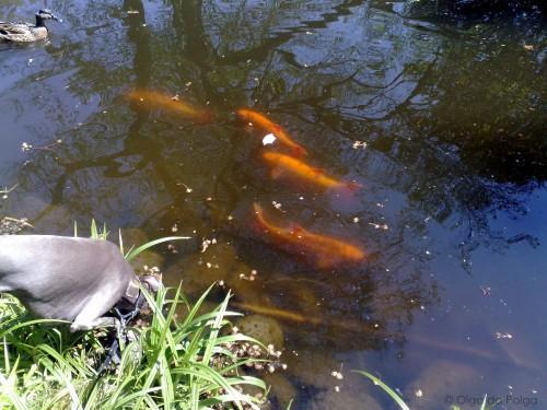 mera guldfiskar