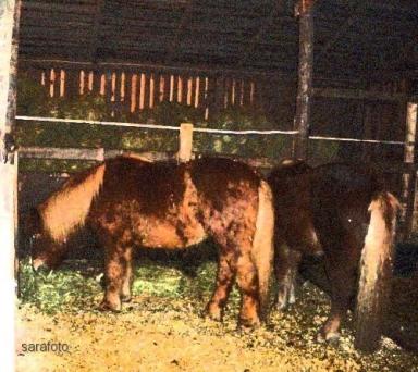 Så skimrande har skogsfrun ryktat sina hästar