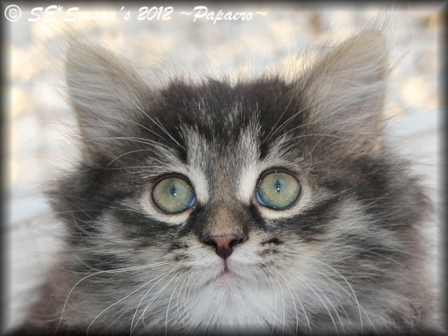 Siberian cat Siberian kitten sibirisk katt n23