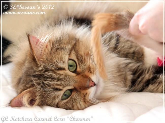 Siberian cat Sibirisk katt