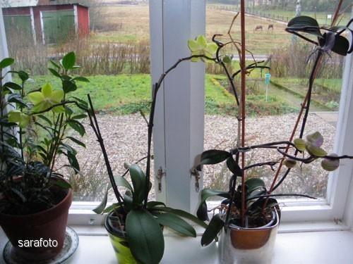 orkidéblom i december