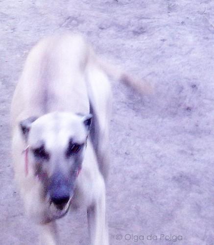 ökenhund