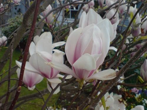Magnolia vit