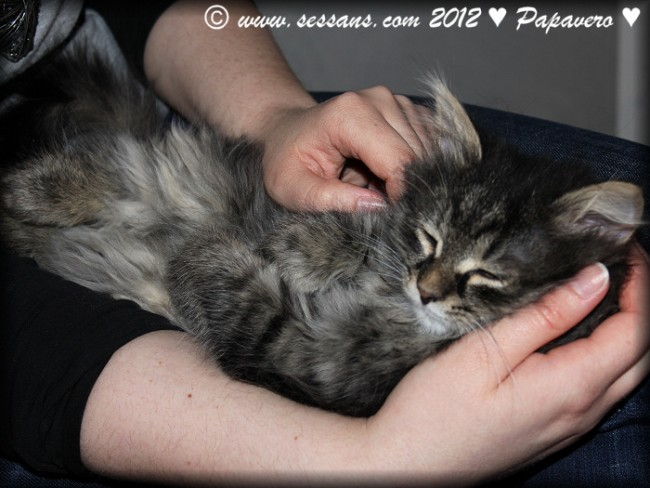 Siberian cat siberian kitten