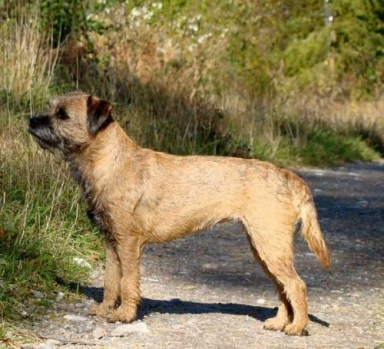 Pyret - Border Terrier