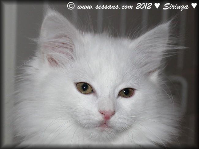 white siberian cat siberian kitten