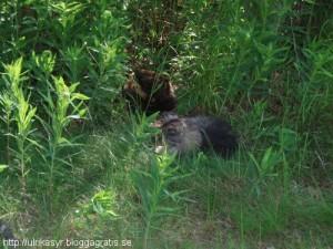 Katterna i djungeln