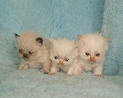 Lady och Tottes kattungar
