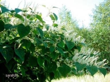 Vackra buskage med vita blomvippor
