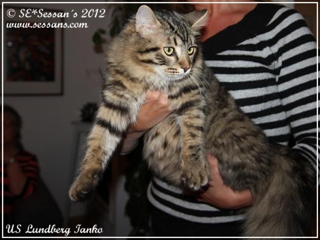 US Lundberg Ianko Sibirisk katt siberian cat