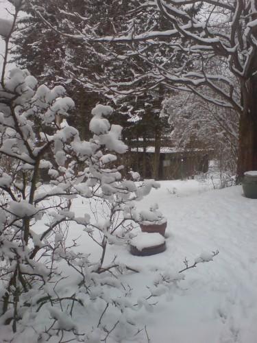 Magnolian snö