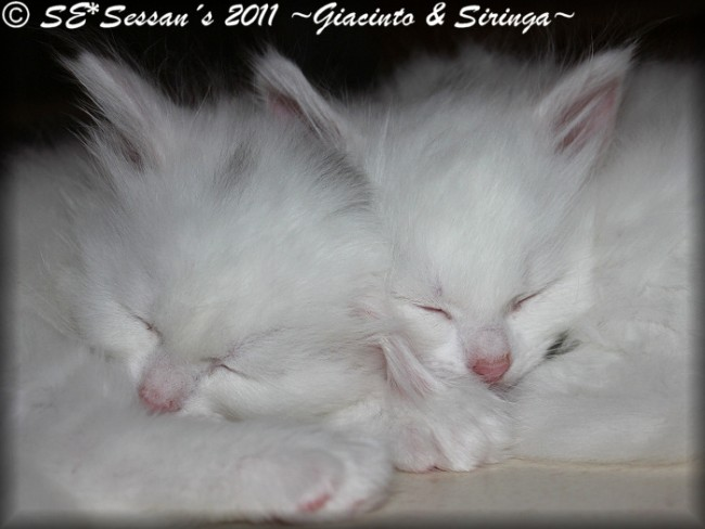 white siberian cat vit sibirisk katt