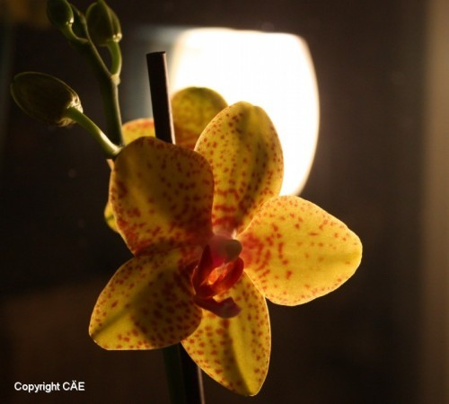 Orkidée