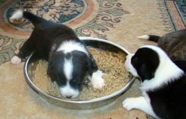 Pippin and Merry try out the puppy food