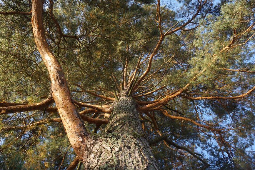 Träd är läkande - Friskare av naturen