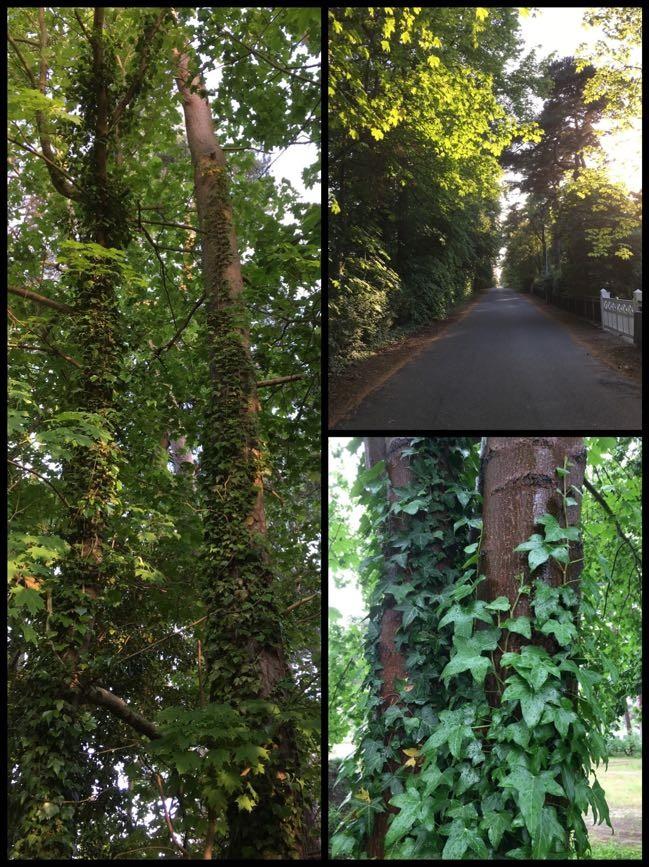 Murgröna växer vilt, slingrande runt trädstammarna lite överallt i Skåne