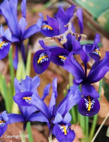 Iris retuculata