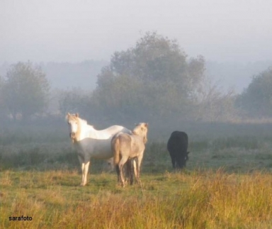 Grannens vita camarque-häst med föl + ett svart russ