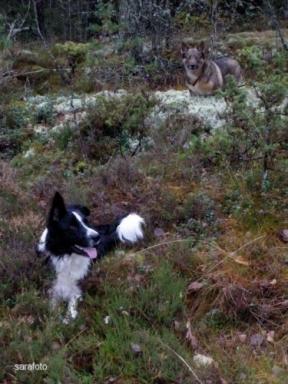 hundarna pausar i mossa och ljung