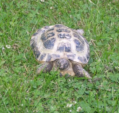 Lillhusses sköldpadda