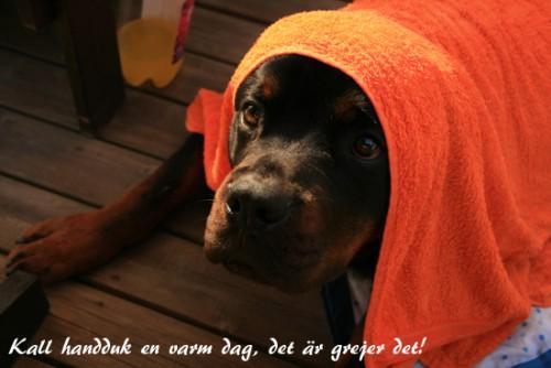 En kall handduk är bra då Niro är så himla värmekänslig...